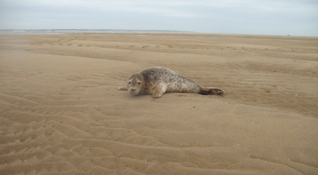 Seal on the Goodwin Sands